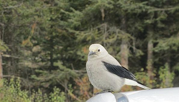 Clark'S Nutcracker Fowl Grey Old Bird Animal Physi