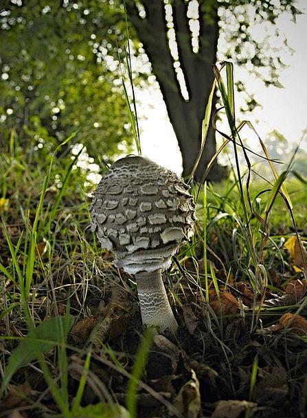 Bedla Edible Mushroom Grass Lawn Fungus Meadow Fie