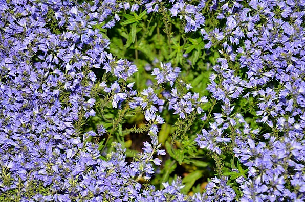 Blue Azure Landscapes Cushion Nature Aubrieta Pill