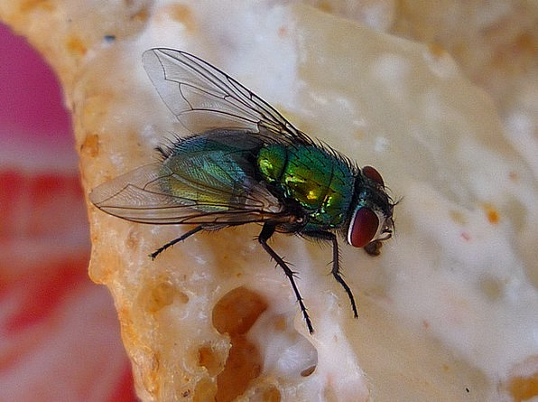Fly Hover Bugs Wing Annex Insects Biology Bug Germ