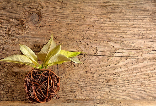 Wood Timber Textures Cane Backgrounds Poinsettia W
