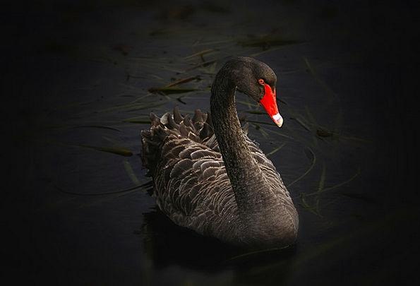 Black Swan Cygnus Atratus Lake Pupuke Australian B