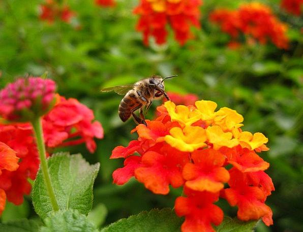 Lantana Flower Floret Bee Insect Bug Close Color O