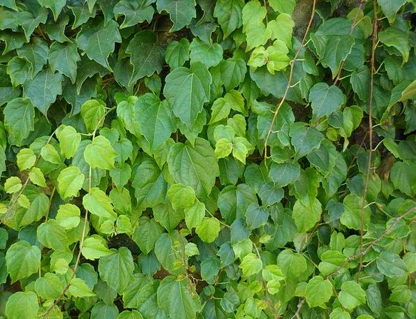 Creeper Climber Leaves Greeneries Hera Green Lime