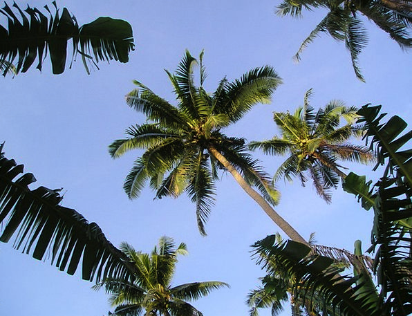 Palm Trees Exotic Unusual Samoa South Sea
