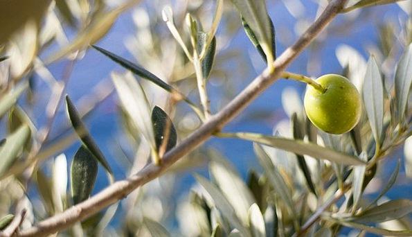 Olive Emerald Landscapes Sapling Nature Olive Tree
