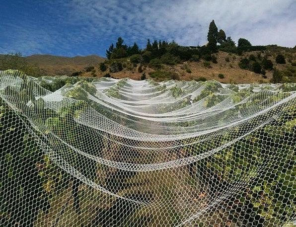 Vineyard Winery Webs Wine Mauve Nets Vine Creeper