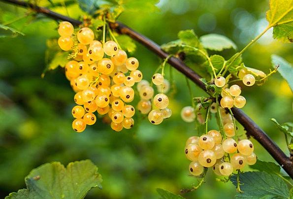 Currant Drink Snowy Food Fruit Ovary White Fresh N