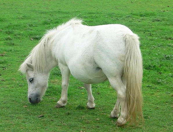 Pony Horse White Snowy Dwarf Mane Pack Animal Anim