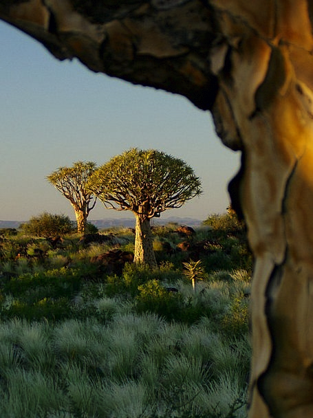 Quiver Tree Forest Landscapes Nature Tree Sapling