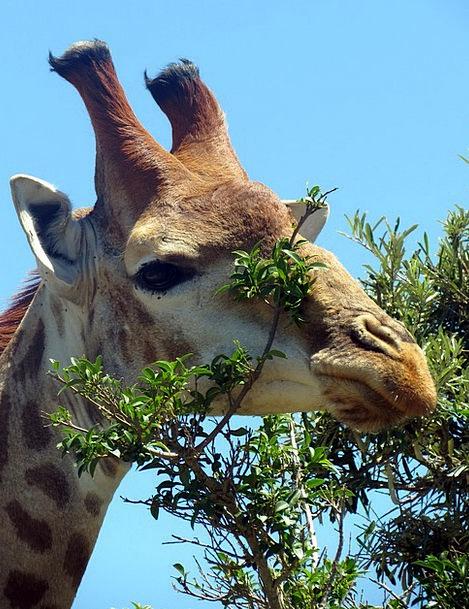Giraffe Creature Africa Mammal Nature Countryside