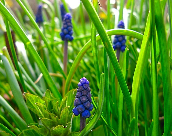 Muscari Landscapes Nature Flowers Plants Grape Hya