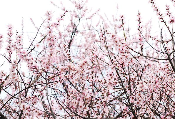 Peach Blossom Sky Blue Nyingchi Pink Flushed
