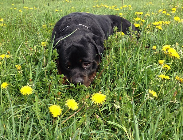 Dog Canine Field Rottweiler Meadow