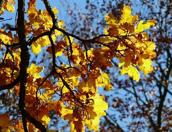 Oak Leaves Landscapes Nature Quercus Oak Leaves Se