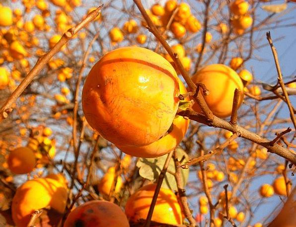 Persimmon Ovaries Orange Carroty Fruits Organic Ri