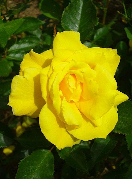 Rose Design Landscapes Nature Summer Flower Lemon