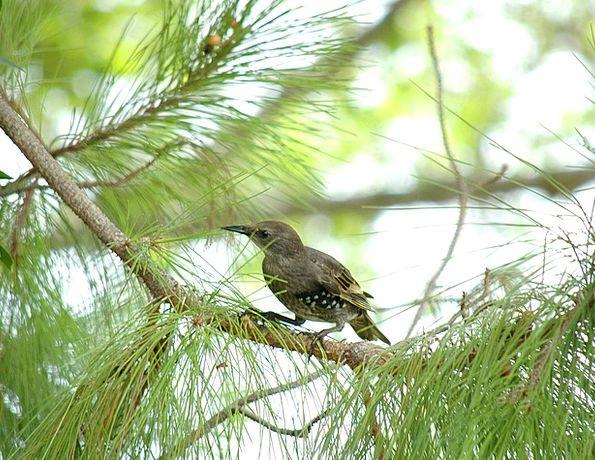 Starling Black Bird Blackbird Bird Fowl Pine Tree