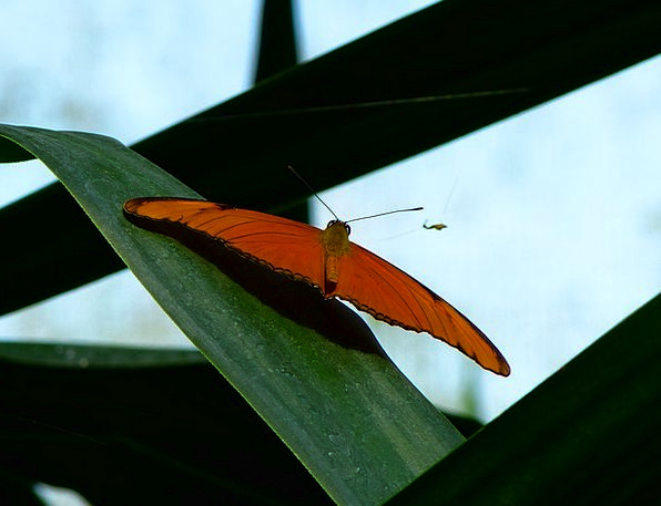 Butterfly Hover Wing Annex Fly Edelfalter Animal P