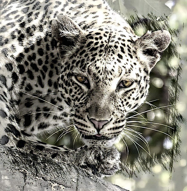 Leopard Africa Big Cat Nature Safari Trek Digital