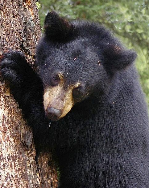 Bear Cub Tolerate Tree Sapling Bear Fur Climbing U