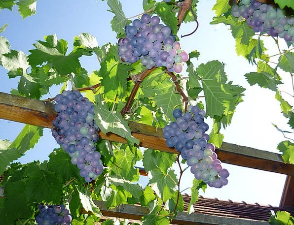 Blue Grapes Drink Crop Food Autumn Fall Harvest Wi