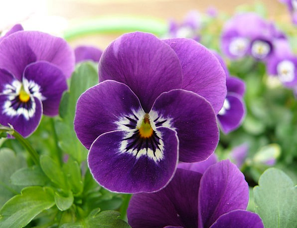 Pansy Landscapes Nature Plant Vegetable Macro Phot