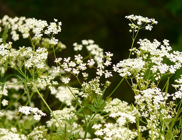 Cow Parsley Pointed Flower Chervil Herb Basil Flow
