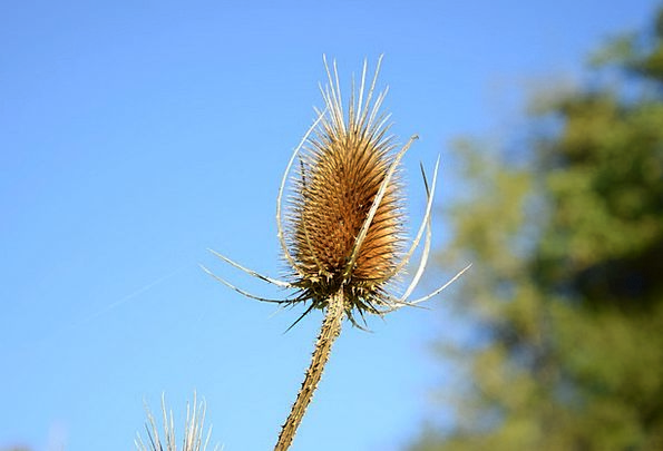 Thistle Landscapes Fall Nature Dry Thirsty Autumn