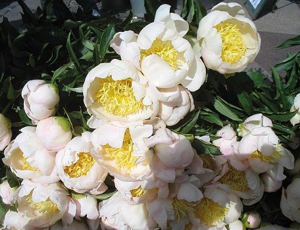 Flowers Plants Snowy Yellow Creamy White Cut Flowe