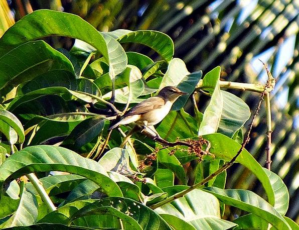 Common Chiffchaff Phylloscopus Collybita Chiff Cha
