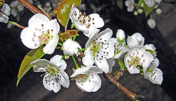 Pear Flowers Plants Blossoms Tree Sapling White Sp