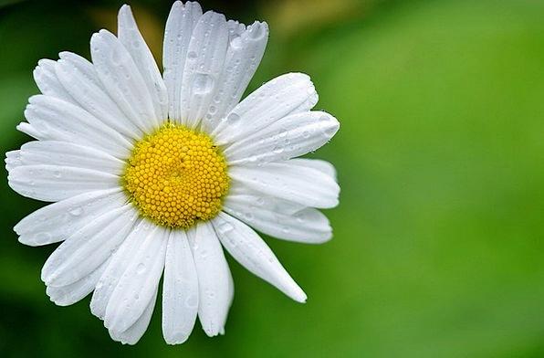 Daisy Landscapes Plants Nature Meadow Field Flower