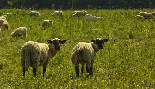 Nature Countryside Landscapes Ewe Nature Pasture M