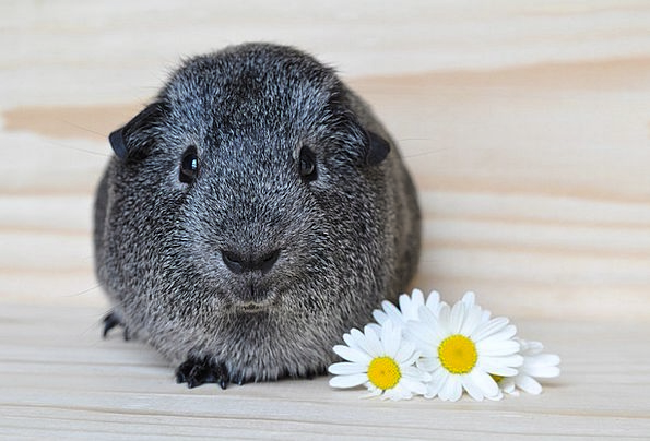 Silver Gray Smooth Hair Guinea Pig Rodents Cute Sm