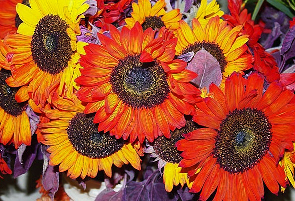 Sunflower Landscapes Bloodshot Nature Yellow Cream