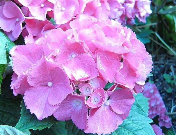 Flower Floret Inflorescence Hydrangea Pink Flushed