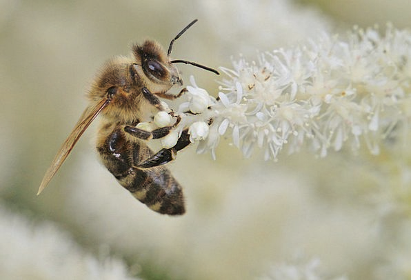 Bee Insect Bug Bees Macro Photography Flower Flore