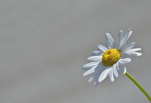 Marguerite Floret Macro Instruction Flower Yellow