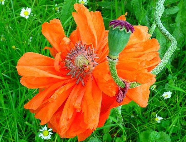 Poppy Floret Red Bloodshot Flower Orange Carroty B