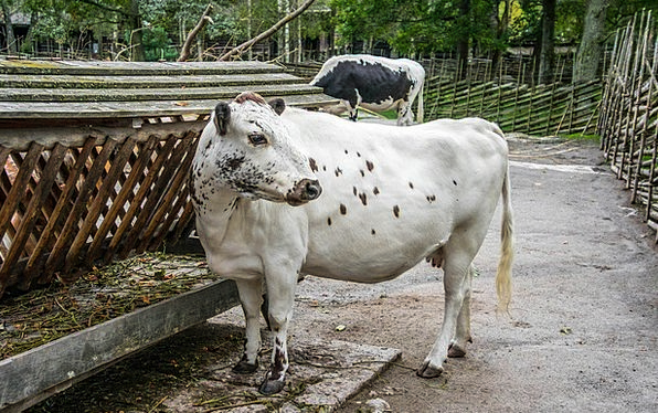 Livestock Beef Intimidate Animal Physical Cow Dair