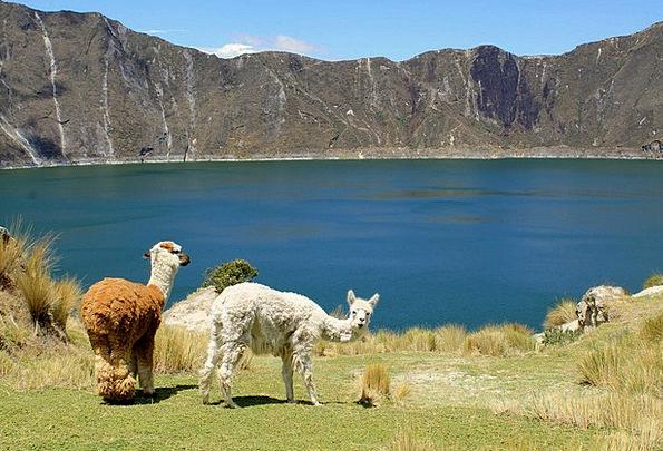 Llamas Physical Mammal Creature Animal Quilotoa An