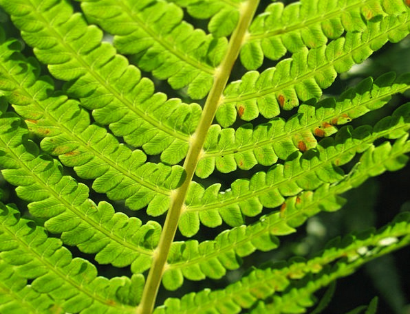 Fern Instruction Green Lime Macro Leaf Foliage Ste