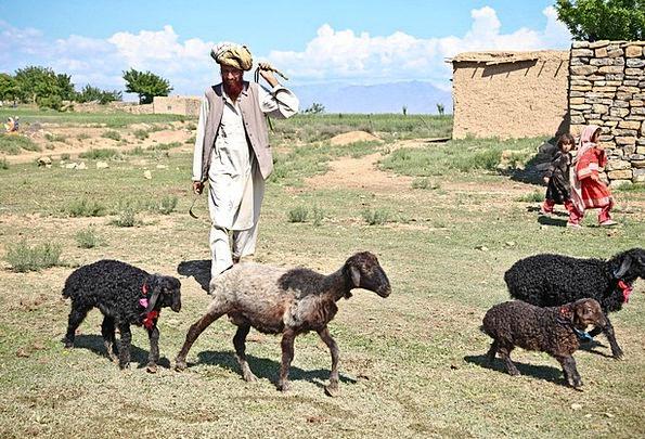 Shepherd Marshal Ewe Man Gentleman Sheep Field Chi