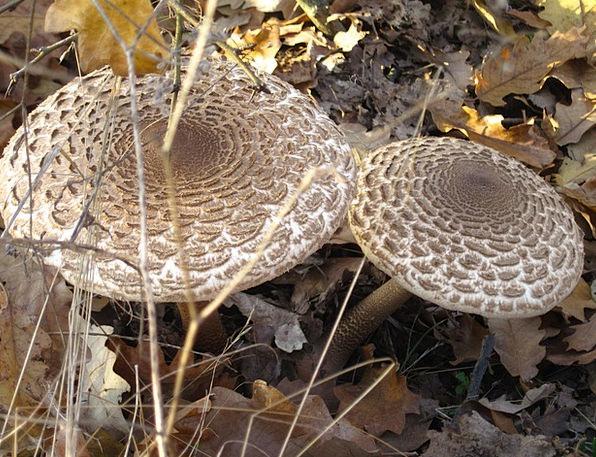 Mushrooms Burgeons Landscapes Woodland Nature Wild