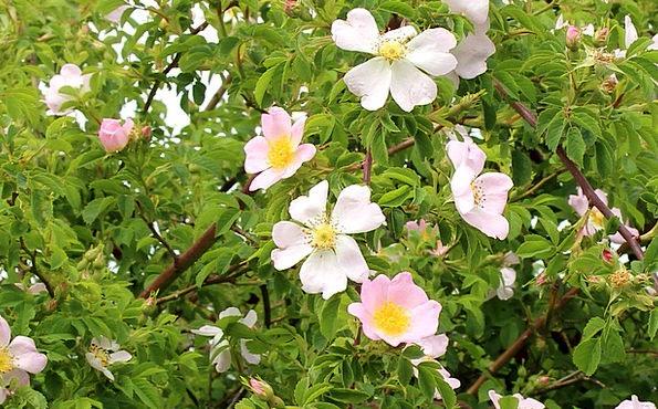 Shrubs Bushes Wild Rosebush Wild Rose Flowers Plan