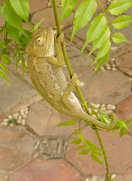 Chameleon Trimmer Insect Eater Reptile