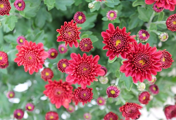 Chrysanthemums Plants Red Bloodshot Flowers Salent