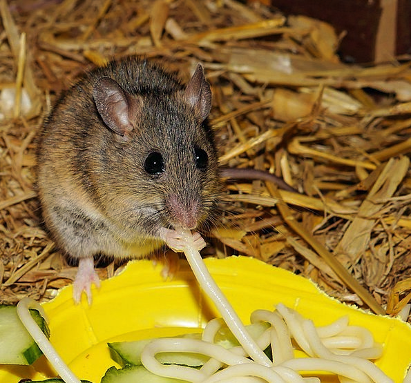 Mastomys Drink Food Eat Bother Mouse Nager Cute Bu