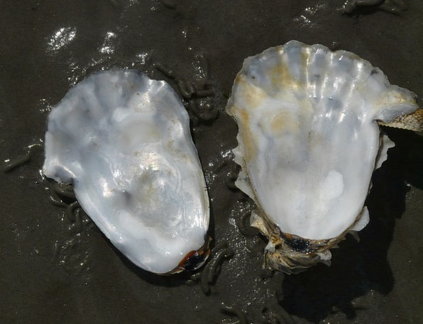 Oyster Bomb Mother Of Pearl Shell Creature Gloss L